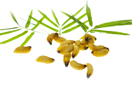 Red palm weevil larvae on bamboo leaves background Stock Photo