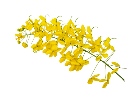 Yellow flowers on Isolated white background, Javanese cassia flower is from Thailand
