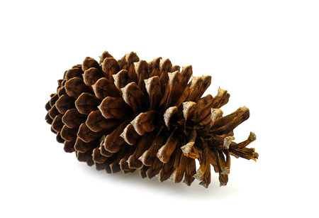 a pine cone dry on white background