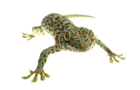A tokay gecko clings on white background Archivio Fotografico
