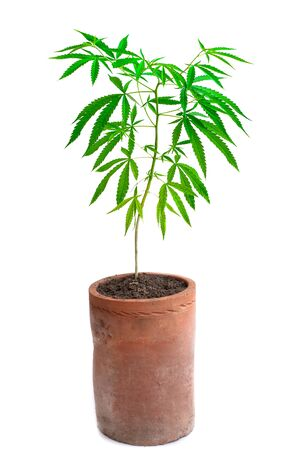 Plant cannabis growing in pot at white background