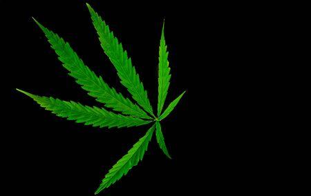 Green medicinal plant cannabis leaf at black background close up Reklamní fotografie