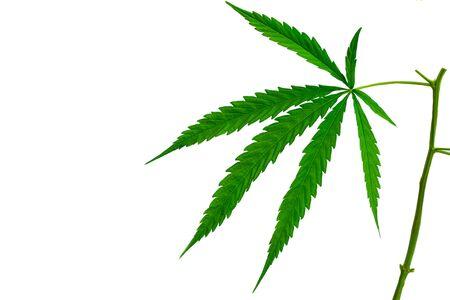 Green medicinal plant cannabis leaf at white background close up Reklamní fotografie