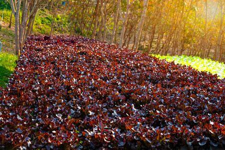 Vegetable green oak growing in hydroponic system flow water and fertilizer automation on planting plot, Eco organic modern smart farm 4.0 technology 版權商用圖片