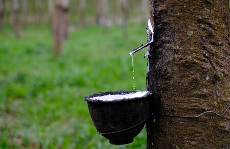 Fresh milky Latex flows into a plastic bowl in from para rubber tree Hevea Brasiliensis Stock Photo