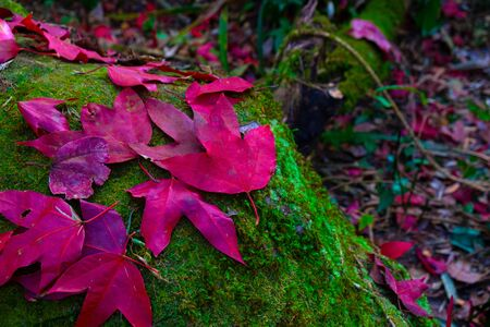 Fallen red maple leaves on the stone at green moss, Leaf out