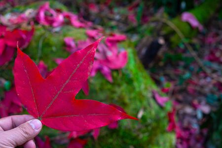 Man holds red maple leaves in hands at blurred fallen leaves on the background