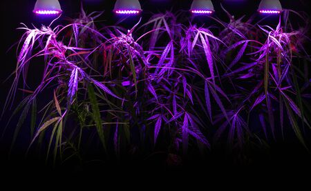 Plant sapling cannabis growing in pot with LED grow light