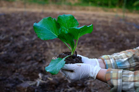 Gardener hand holding seedling cabbage vegetable in the organic farm