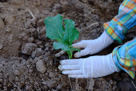 Gardener hands planting cabbage vegetable gardening