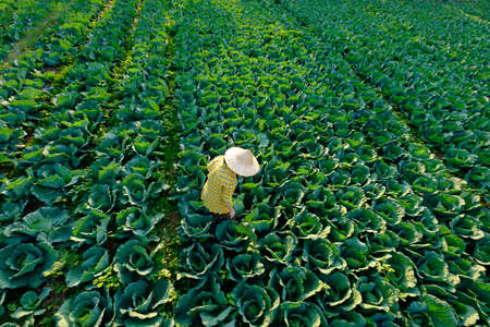 Female farmer with straw hat is gardening and agricultural activity in the cabbage vegetable field