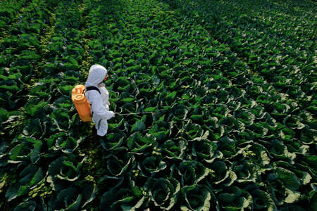 Female gardener in a protective suit and mask spray fertilizer on huge cabbage vegetable plant Stockfoto