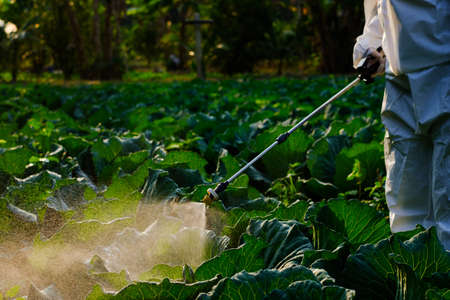 Gardener in a protective suit spray fertilizer on cabbage vegetable plant Stockfoto