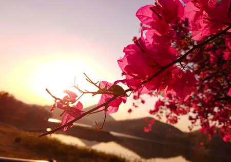 Bougainvillea flower at sunset and background