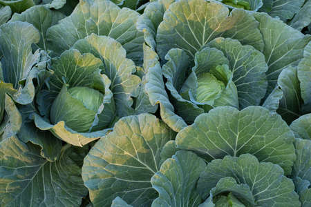 Green fresh cabbage maturing heads growing in the farm field