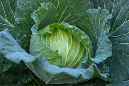 Close up green fresh cabbage maturing heads growing in the farm field