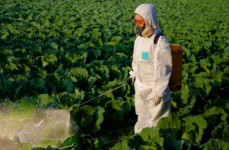 Gardener in a protective suit spray fertilizer and insecticide on huge cabbage vegetable plant