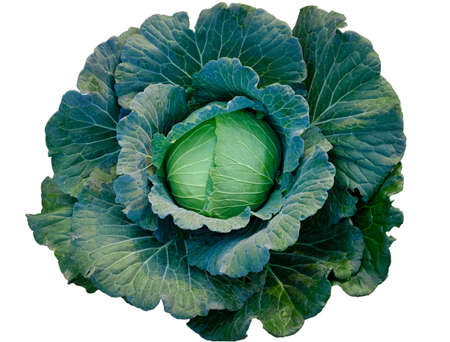 Green fresh cabbage maturing heads growing on white background Imagens