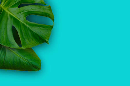tropical jungle Monstera plant leaves isolated on blue background