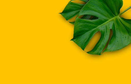 tropical jungle Monstera plant leaves isolated on yellow background