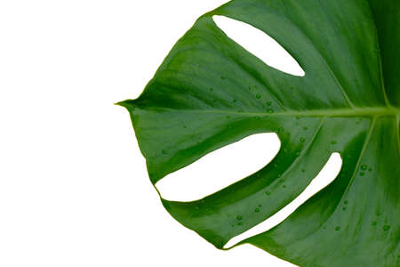 Tropical jungle Monstera plant leaves isolated on white background Imagens