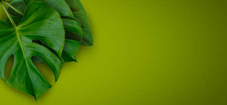 Tropical jungle Monstera plant leaves isolated on green background Imagens