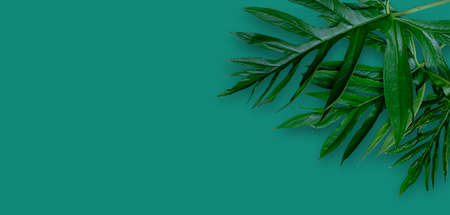 Leaf of Phak Naam Lasia spinosa a plant of the family Araceae on blue background Standard-Bild