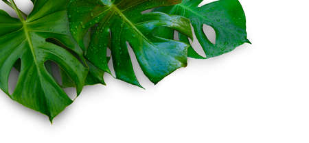 Tropical jungle Monstera plant leaves isolated on white background Standard-Bild