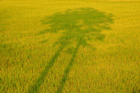 connectedness: shadow of trees in the rice fields