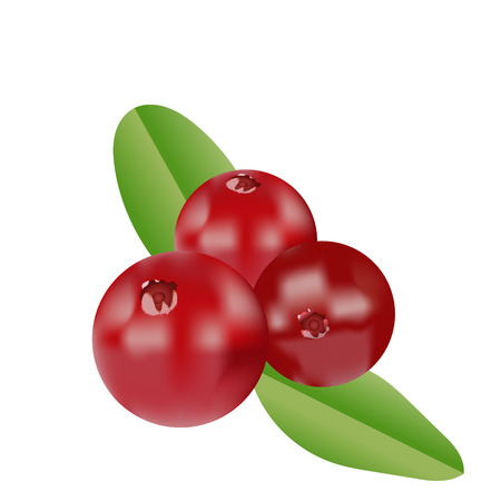 Vector realistic cranberries with leaves. Isolated objects Illustration