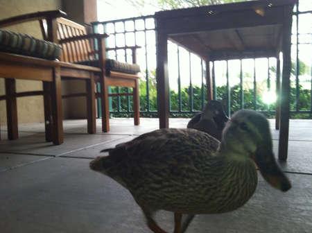 quack: Ducks
