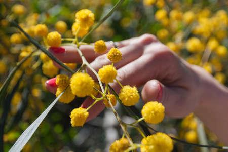 Closeup image of woman hand touching beautiful acacia tree