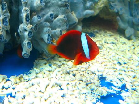 pez payaso: Clownfish and Coral Foto de archivo