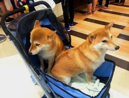 likeable: Adorable Dog Twins (Shiba Inu) in A Perambulator Stock Photo