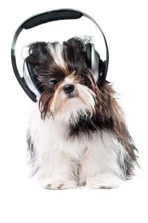 A dog listening to music on the white background photo