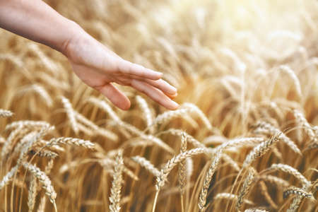 The hand of a farmer close-up touching golden wheat ear in the wheatfield.