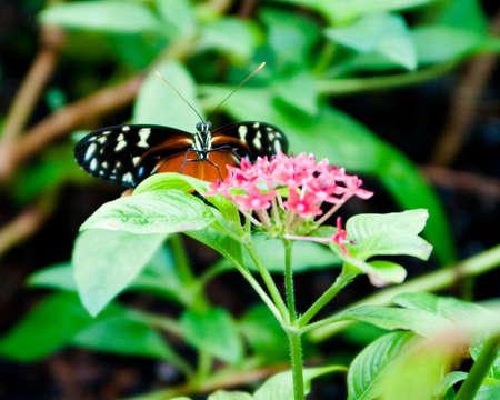 Defiant Butterfly on Pink Flower