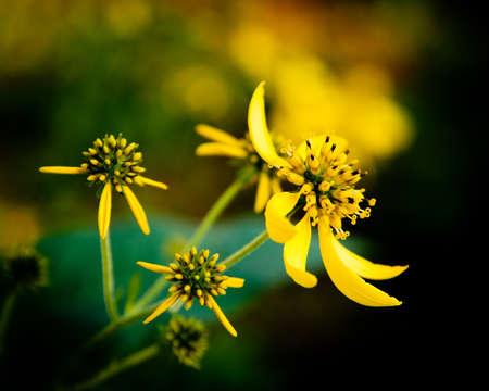 Cluster of yellow flowers with deep bokeh Фото со стока