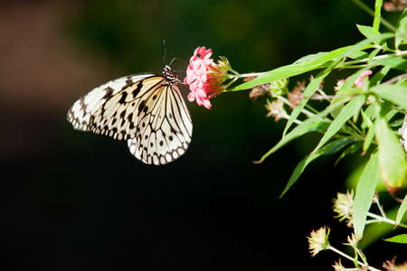 White and black butterfly on red and pink flowers with deep bokeh