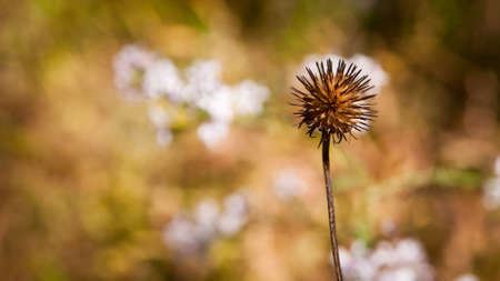 single brown flower husk at the end of autumn with deep bokeh Фото со стока