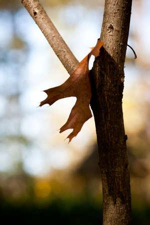 Autumn scene of dead leaf in the crook of a tree with deep bokeh