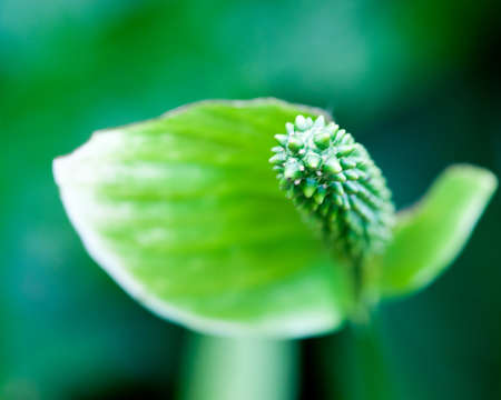 Isolated green spiny bud with strong bokeh Фото со стока