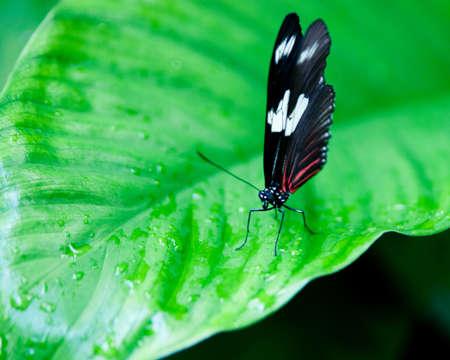 Butterfly on wet waxy leaf Фото со стока