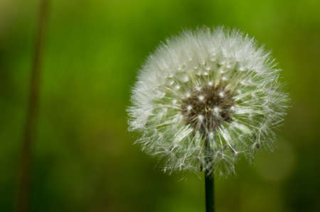 Isolated dandelion puff against green background