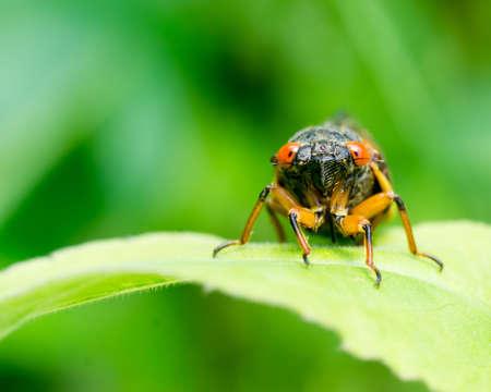 Cicada on a leaf with orange eyes