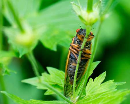 Full Body Cicada holding on to stem