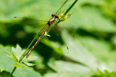 Dragonfly on green field a with shallow depth of focus