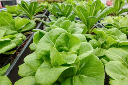 Green oak with cos lettuce vegetable salad hygienic organic plant hydroponic cultivation tree garden farm. 写真素材 - 129626416