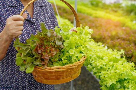 Asian senior lady holding green and red oak vegetable salad hygienic organic plant hydroponic cultivation tree garden farm : healthy food concept.
