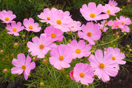 Beautiful pink cosmos photo